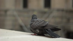 Two Pigeons Having A Minor Disagreement Over A Ledge - stock footage