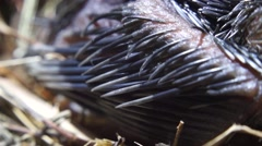 Feathers of Newly fledged birds Stock Footage