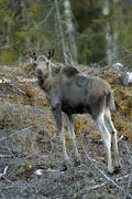 Young Moose Alces alces standing in the open forest Hedmark Norway Europe Stock Photos