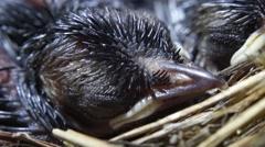 Head of Newly fledged birds sleeping on nest Stock Footage