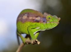 Antimena Chameleon Furcifer antimena near Ifaty Madagascar Africa Stock Photos