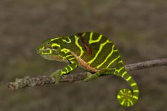 Chameleon of the newly discovered species Furcifer timoni female Montagne Stock Photos