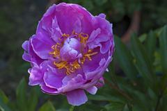 Peony flower Paeonia sp Bavaria Germany Europe Stock Photos