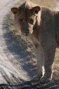 A lioness in Botswana - stock photo