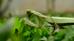 PrayingMantis7 Stock Footage