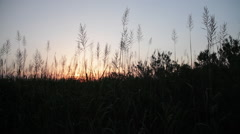 Sunset Tall Grass Silhouette - stock footage