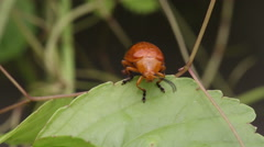 Cucurbit leaf beetle, Aulacophora indica Stock Footage
