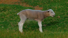 Lost Lamb Calling For It's Mother Stock Footage