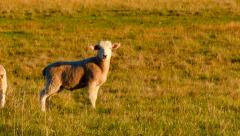 Lambs In A Field Basking In The Evening Sunlight Stock Footage