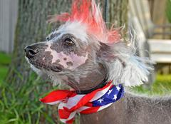 patriotic Chinese Crested Hairless dog - stock photo