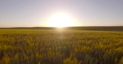 Aerial dolly fly over tracking moving shot of wheat field sunset Stock Footage
