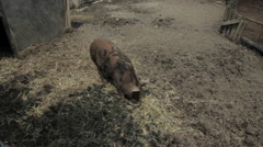 Portly sow eats some grass in his pen - stock footage