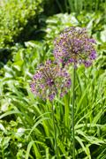 Blooming giant onion flowers (Allium Giganteum) in the garden Stock Photos