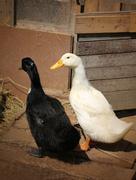 Beautiful ducks Stock Photos