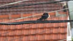 Swallow bird on wire on rainy day storm. UHD 4K stock footage Stock Footage