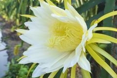 Flower of dragon fruit Stock Photos