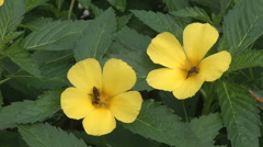 Yellow Hibiscus flowers with bees Stock Footage