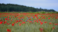 Poppy flowers taking over farmland in Sweden during summer Stock Footage
