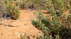 Native Australian Bush On Harsh Dry Ground Stock Footage