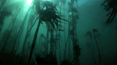 Sunlight rays shining underwater into kelp forest Stock Footage