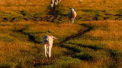 Lamb Walking Towards It's Mother In Golden Sunset Light Stock Footage