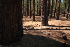 5K 3 Axis Motion Control Time Lapse of Alpine Pine Tree Forest in California Stock Footage