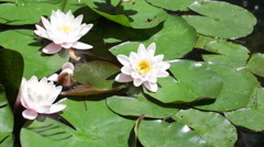 Three white blossoming water-lilies in the sunny summer day Stock Footage