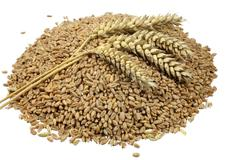 Wheat grains and cereals spike. Wheat isolated on white background Stock Photos