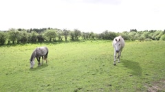 Horses in the fields of Scotland, HD footage Stock Footage
