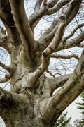 Gnarly Old Barren Tree - stock photo
