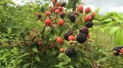 Blackberries on the Vine Blown in Wind Stock Footage
