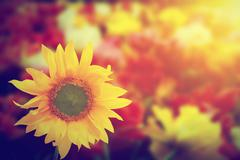 Sunflower among other spring summer flowers at sunshine. - stock photo