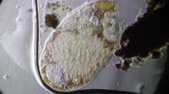 Worm Turbellaria (Dalyellia Viridis), seen in biological microscope. Stock Footage