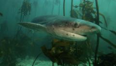 Seven gill cow shark swimming through kelp forest Stock Footage