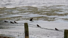 Swallows on Barb Wire Stock Footage