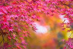 autumnal background, slightly defocused red marple leaves - stock photo