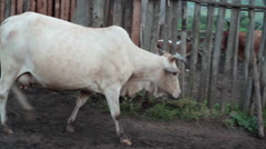 Stock Video Footage of White cow entering poor village pen, Samburu, Kenya, Africa
