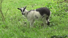 Hutsul region,  yard, goat - stock footage