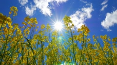 Flowers of rapeseed and sun, view from below Stock Footage