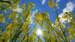 Flowers of rapeseed and sun, view from below - stock footage