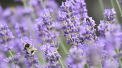 Lavender background Stock Footage