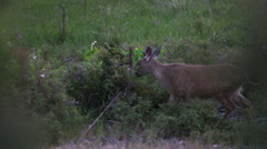 SMALL DEER GRAZING AND WALKING IN GREEN FIELD Stock Footage