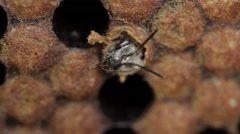 Imago young honey bee eating it's way out of cell macro footage Stock Footage