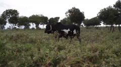 Big black male bull walks in grass meadow, Samburu, Kenya, Africa Stock Footage