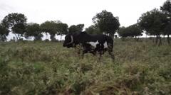 Big black male bull walks in grass meadow, Samburu, Kenya, Africa - stock footage