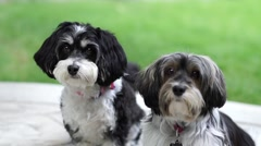 Cute pets, Havanese dogs in slow motion Stock Footage