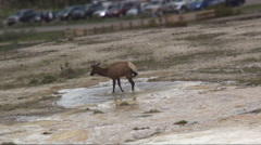 Moose play in water at Yellowstone 2 Stock Footage