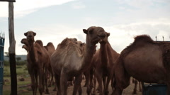 Camels arrive back at stable, Samburu, Kenya, Africa, close up Stock Footage