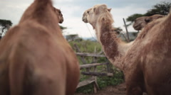 2 camels, close up, shallow DOF, soft focus Stock Footage