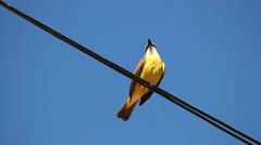 Brazilian Bird Sitting On the electrical wiring - Great Kiskadee - Bem te vi Stock Footage